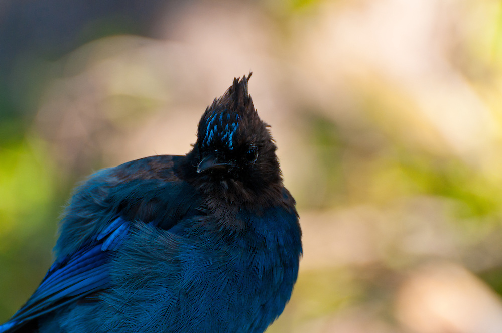 A Steller's Jay (Cyanocitta stelleri) at Mount Rainier National Park.
