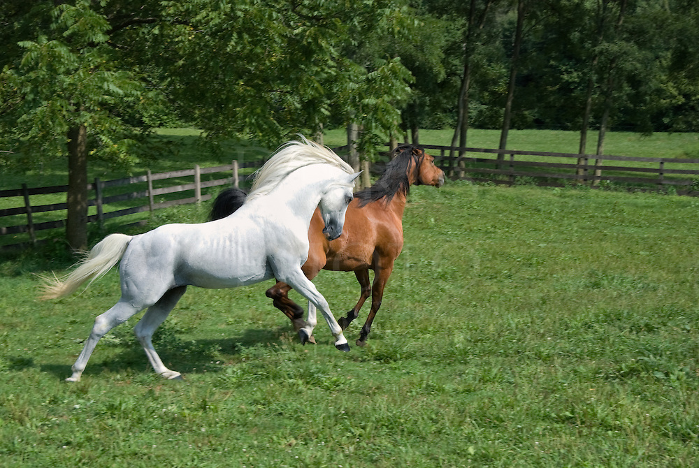 Picture of two running Arabians in open summer pasture, a mating pair of a white stallion and bay mare.