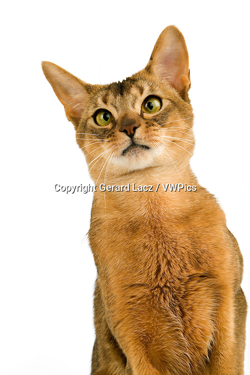 Abyssinian Domestic Cat, Portrait of Adult against White Background