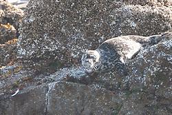 Camouflaged Harbor Seal (Phoca vitulina), Orcas Island, San Juan Islands, Washington, US