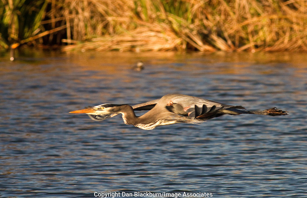 Great Blue Heron in flight over the water