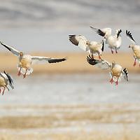 snow geese landing in a crop field, spring geese