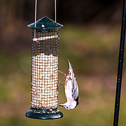 White nuthatch eating upside down from bird feeder