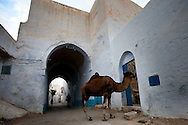 A camal returns home after a day of hauling water up for a legendary well in the anicent city of Karaouine, Islam's fourth most holy city. The water in the well supposedly comes directly from Mecca.