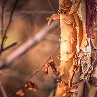 The colorful, peeling bark of the River Birch tree in Autumn (Betula nigra).