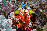 A rainbow colored Mantis Shrimp peaks out from its burrow in the seafloor<br /> <br /> <br /> <br /> Shot in Indonesia