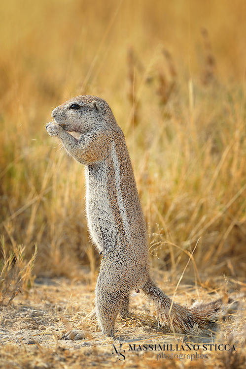 The Cape Ground Squirrel (Xerus inauris) is found in most of the drier parts of southern Africa from South Africa, through to Botswana, and into Namibia.....The name Cape Ground Squirrel is somewhat misleading as it actually has a much wider area of habitation. This common name may have been arrived at to distinguish it from a tree squirrel (the Eastern Grey Squirrel) found around Cape Town, which was imported from Europe by Cecil John Rhodes.