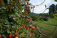 Apples in the orchards at the Mountain Horticultural Research and Extension Center in Henderson County.