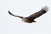 JAPAN, Eastern Hokkaido.White-tailed sea eagle (Haliaeetus albicilla) in flight