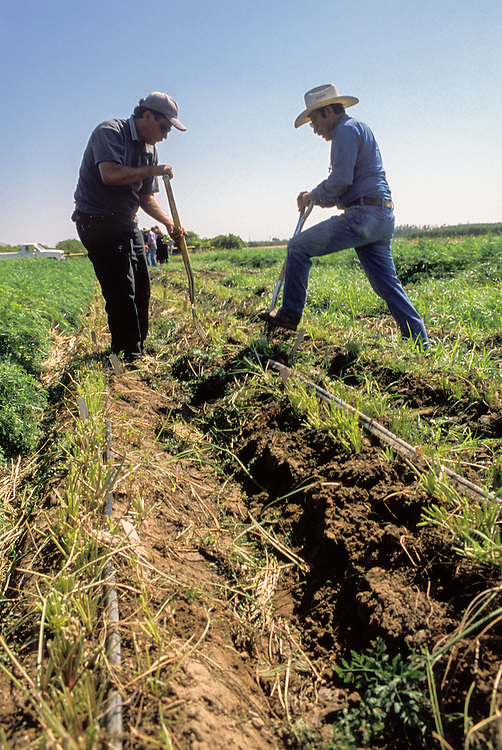 CENTRAL VALLEY, CALIFORNIA - Rene Celanis and Joaquin Manzo dig carrots at the UC Kearney Ag Center