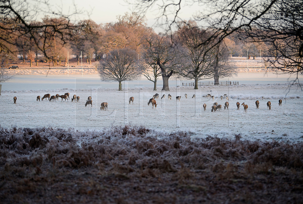 © Licensed to London News Pictures. 03/01/2017. London, UK. Deer graze in a frost covered landscape at sunrise in Richmond Park in London as temperatures in the capital drop below zero. . Photo credit: Ben Cawthra/LNP