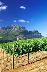 Delaire Vineyard, Stellenbosch, South Africa (Credit Image: © Axiom/ZUMApress.com)