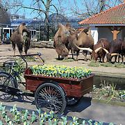 NLD/Amsterdam /20130327 - Prinses Magriet doop een tulp in Artis, kar met gele tulpen