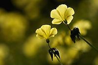 Bermuda Buttercup (Oxalis pes caprae), Akamas peninsula, Cyprus