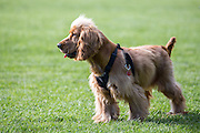Local dogs in London - this is Jessie, a golden cocker spaniel puppy
