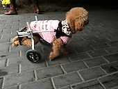 Dog Has Purpose-made Wheels