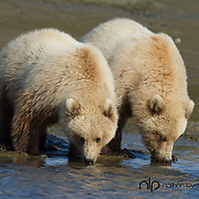 Brown bears drinking water from a river;  Lake Clark, Alaska in wild.
