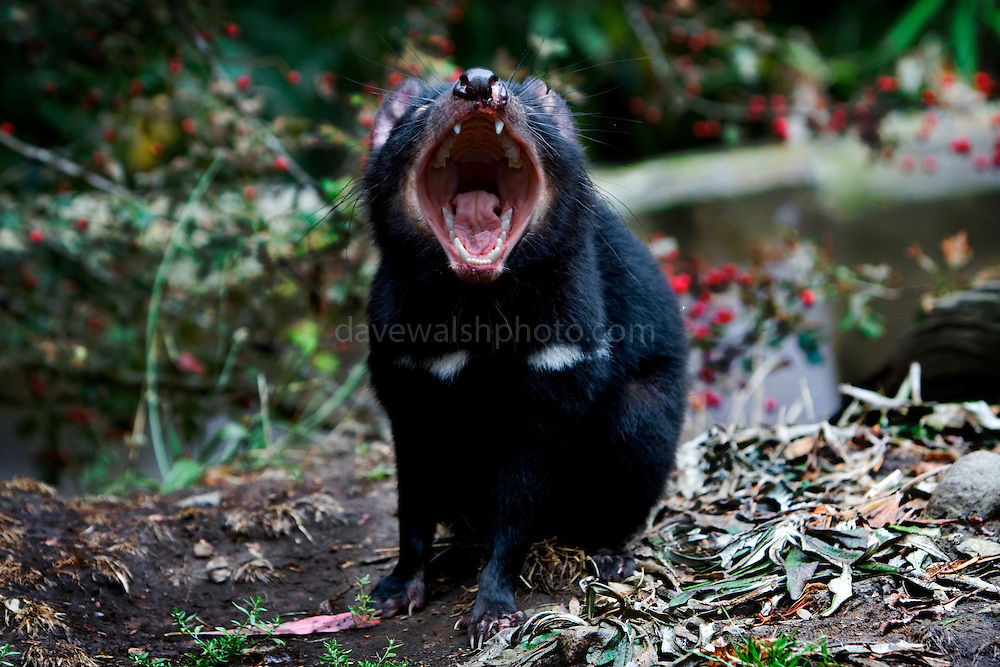"Captive Tasmanian Devils  at Tasmanian Devil Conservation Park, near Taranna, Tasmania, Australia demonstrating its powerful jaws. This is a ""fear yawn"" showing fear or nervousness, or just showing off its teeth in a ""don't mess with me"" way. This one wasn't making sound - just gaping! The jaw is four times more powerful than a dog the same size (Jack Russell) and a Tasmanian Devil could easily eat every bone in the human body! ....Most of the devils I photographed over the last week were either recovering from injuries, or orphans, seperated from parents suffering from the Tasmanian Devil Facial Tumor Disease, which is a contagious cancer. Many of these orphans or recovered will be released into the wild."