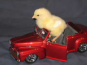 Baby Chick driving model car