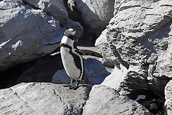 CAPE TOWN, March 30, 2019  An african penguin is seen at the Stony Point Nature Reserve in Betty's Bay, Western Cape province, South Africa, March 30, 2019. The Stony Point Nature Reserve in Betty's Bay, where more than 3,600 penguins roost, offers the public the chance to observe the African penguins up close via the boardwalk and other isolation measures. (Credit Image: © Xinhua via ZUMA Wire)