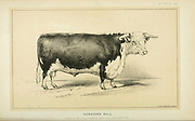Hereford Bullfrom Cattle and dairy farming. Published 1887 by Govt. Print. Off. in Washington. United States. Bureau of Foreign Commerce (1854-1903)