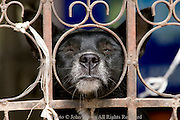 A dog is looking through an iron gate at a home in Phrae, Thailand.