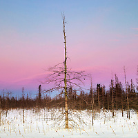 Pine tree at dusk in northern Wisconsin during winter.