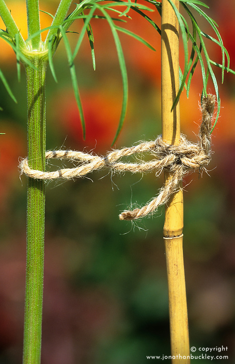 Staking showing a figure of eight clove hitch knot for supporting annuals and other tall plants