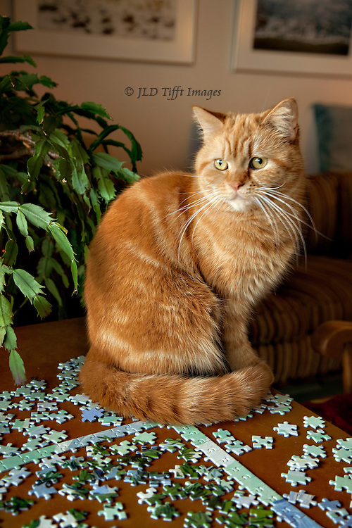 "Orange tabby cat seated on a table, a picture puzzle under her in process.  Pieces of the puzzle scattered around.  The animal gazes into the distance.  Caption: ""'Tis a puzzlement."""