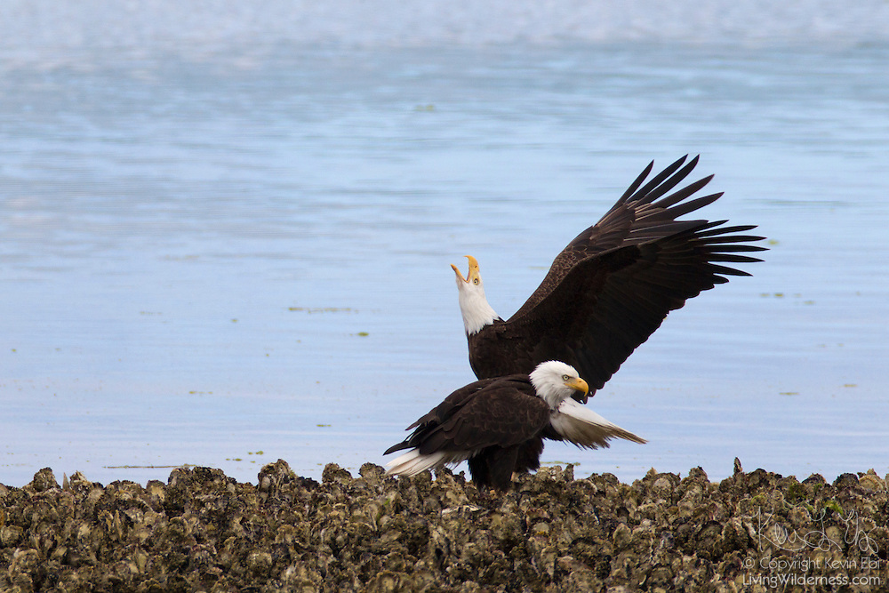 A bald eagle (Haliaeetus leucocephalus) claims a hunting spot on the oyster beds in Hood Canal, Washington. Hundreds of bald eagles congregate in the area near the town of Seabeck early each summer to feed on migrating midshipman fish when get caught in the oyster beds during low tides.