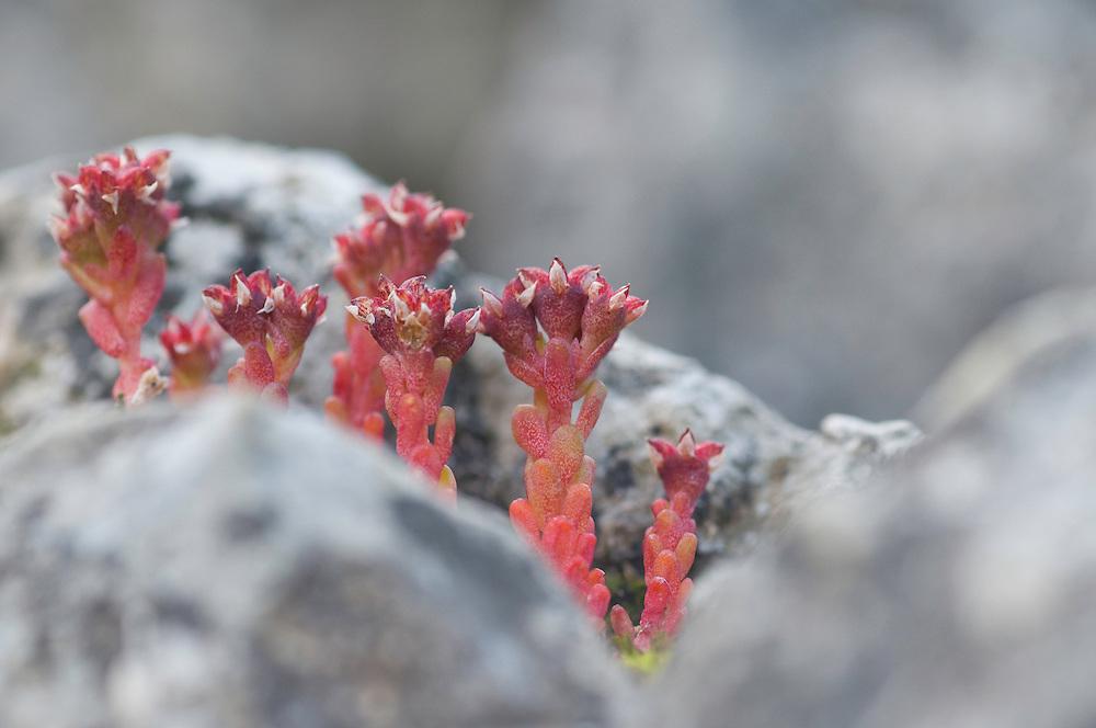 Sedum atratum; Stonecrop, mountain area near Steg, Lichtenstein