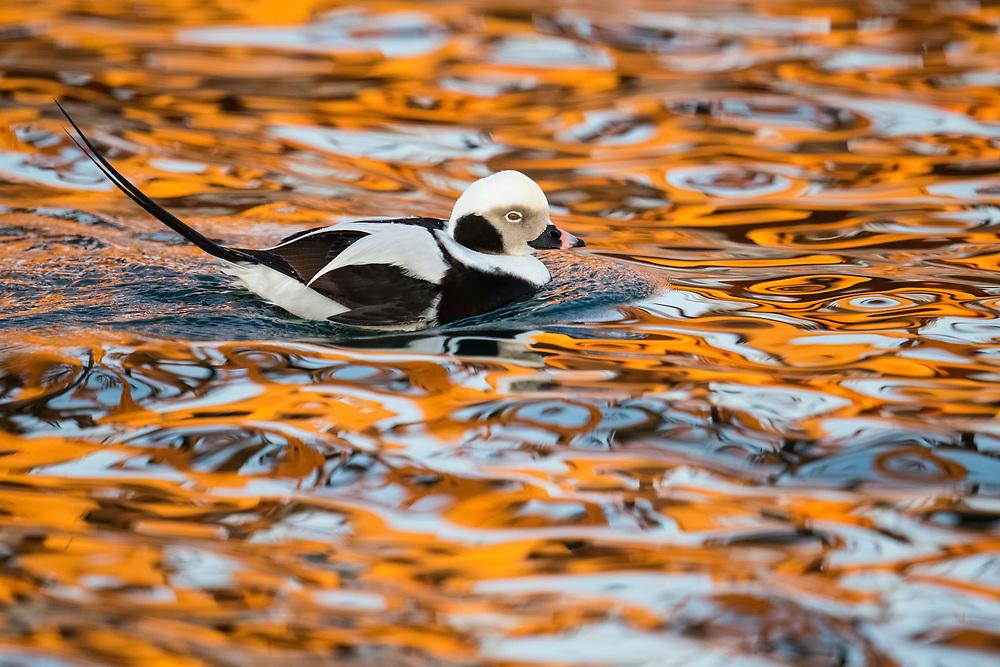 Long-tailed Duck, Clangula hyemalis, male, Lake Ontario, Ontario, Canada