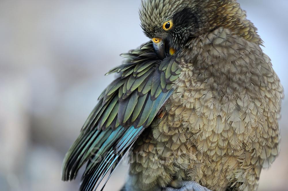 Kea (Nestor notabilis) Arthur's Pass, New Zealand | Kea oder Bergpapagei (Nestor notabilis); Gefiederpflege ist besonders wichtig um die Federn immer Wasserabweisend zu halten. Arthur's Pass, Neuseeländische Alpen, Neuseeland.