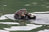 California Sea Otter eating a clam - Elkhorn Slough, California