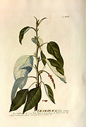 Coloured Copperplate engraving of a balsam poplars (Populus sect. Tacamahaca) from hortus nitidissimus by Christoph Jakob Trew (Nuremberg 1750-1792)