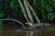 Spectacled Caiman - Caiman crocodilus<br />
