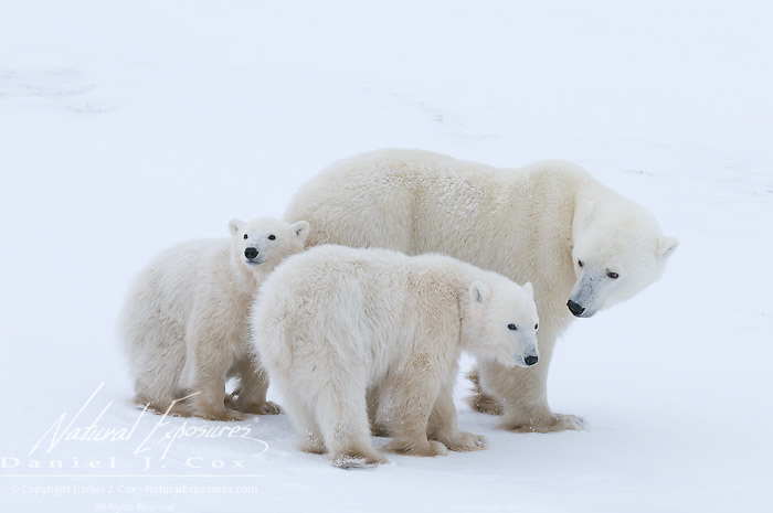 Polar Bear mother and her cubs at Cape Churchill, Manitoba.