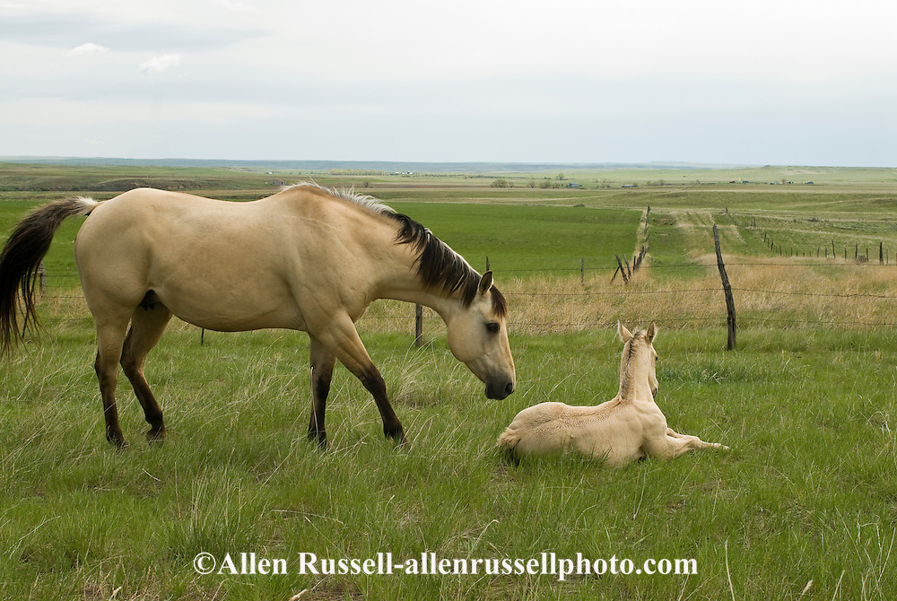 Quarter Horses, buckskin mare and foal<br />