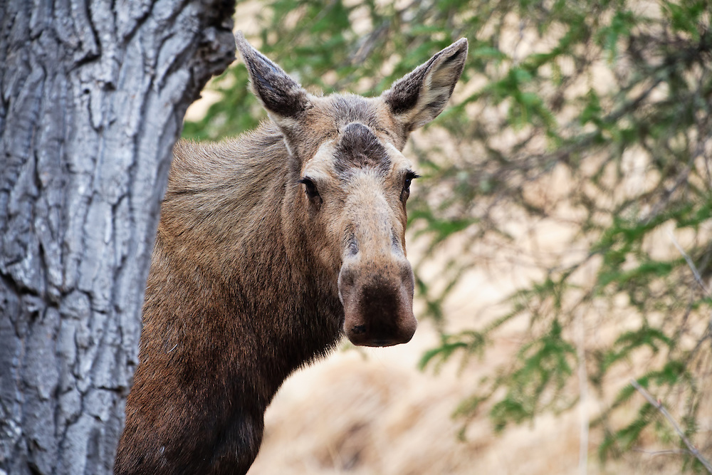 Moose (Alces alces) emerges from behind tree in Chugach State Park, Eagle River in Southcentral Alaska. Spring. Afternoon.