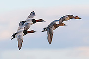 Canvasbacks, Aythya valisineria, Saginaw Bay, Michigan