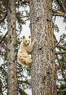 Spirit Bear Cub climbs a big tree as we surprised each other in this special sighting in Northern BC