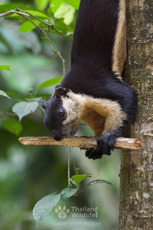 The black giant squirrel (or Malayan giant squirrel) (Ratufa bicolor) is a large tree squirrel in the genus Ratufa native to Indomalaya. R. bicolor is diurnal and arboreal, but sometimes climbs down from the forest canopy to feed on the ground. Kaeng Krachan National Park, Thailand.
