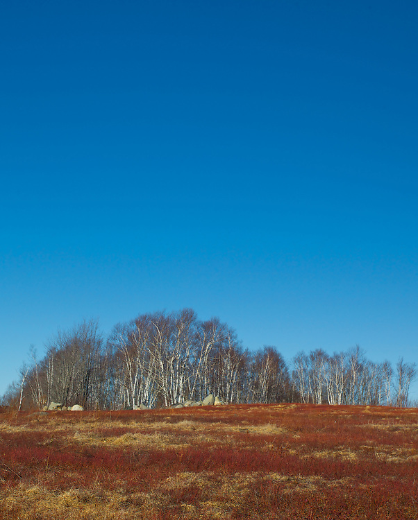 Birch and pine stand on the edge of the bright red blueberry field.