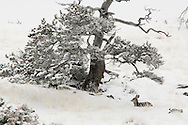 Mule Deer doe (Odocoileus hemionus) under tree after winter storm, Property Released
