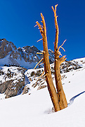 Pine snag in winter under Piute Pass, Inyo National Forest, Sierra Nevada Mountains, California