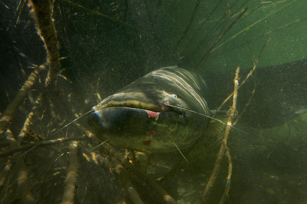 Wels - Silure glane - Wels catfish (Silurus glanis)<br /> Laichregion, Rio Ebro, Spanien<br /> P&eacute;riode de fraye, Ebre, Espagne<br /> Spawning period, Rio Ebro, Spain<br /> CANON EOS 5D EF24/1.4<br /> 18-05-2007