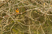 Wildlife Varied Thrush (Ixoreus naevius) photographs from Redwood National Park, CA