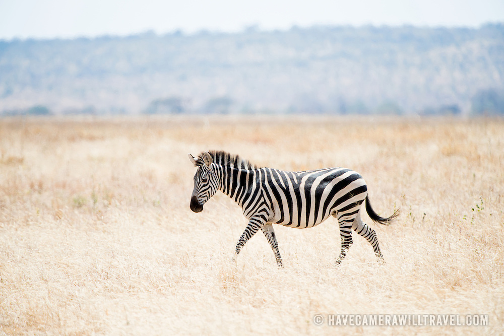 A zebra walks in the grass at Tarangire National Park in northern Tanzania not far from Ngorongoro Crater and the Serengeti.