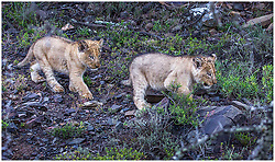 "South Africa's most loved lion Sylvester who twice cheated execution after escaping from a game park has become the proud father to these adorable cubs. Sylvester made world headlines in 2015 when he was chased out of the Karoo National Park by older lions and during three weeks on the run killed 28 sheep, a cow and a kudu. Rangers dubbed him The Ghost as he kept eluding them as he trekked his way 180 miles away from the park leaving a trail of dead animals he had been feeding on behind him. The public begged for him to be spared and when he was found asleep a decision was taken to give him a chance and he was darted rather than being shot in the $60,000 hunt. Thousand of people from around the world added their voice to appeals to spare him from being euthanised. He was airlifted back to the Karoo National Park but when he escaped again in 2016 the fugitive was dubbed a ""problem lion"" and rangers said they feared it would have to be the bullet. But again the public came to Sylvester's rescue and thanks to a tracking collar that had been fitted after his first escape he was found after three days having eaten just the one cow. Sylvester was spared a second time when a vet darted him from a helicopter and taken back to the Karoo National Park where a life or death debate raged over the much loved lion. In the end Sylvester got a stay of execution and was moved to Kuzuko Lodge which is a contractual area of the massive Addo Elephant National Park in a bid to rehabilitate him. He was introduced to another male and two lionesses in the hope he would become a dominant male. And now the team at Kuzuko Lodge in Addo, a member of Legacy Hotels & Resorts who care for Sylvester, revealed that the publics' faith in the the Houdini-like lion had been justified. Lionesses are fiercely protective of their cubs when they are first born and it was 12 weeks before their suspicions were confirmed that Sylvester and his lioness Angel had indeed mated. These two adorable lions"