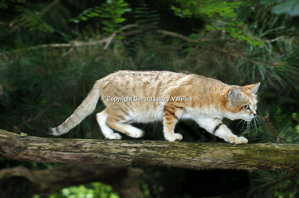 Sand Cat, felis margarita, Female walking on Branch